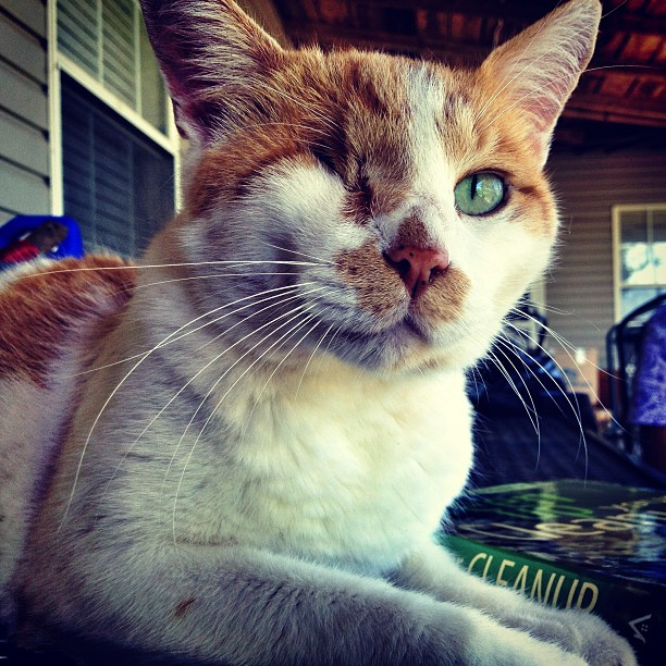 One-eyed Tom, a family cat who has survived two tornados (Shawnee, OK)